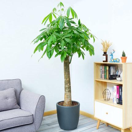 發財樹 單桿1.4-1.6米-綠植